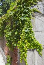 Vines On The Side Of A Building