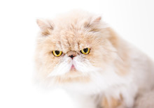 A Tan And White Persian Cat With A Cranky Expression