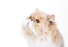 A Tan And White Persian Cat With Yellow Eyes Gazing Upward