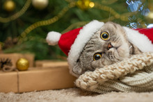 New Year, Christmas Cat In Santa Hat And Costume On The Background Of A Christmas Tree And Lights