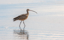 Long-billed Curlew At Moss Bea...