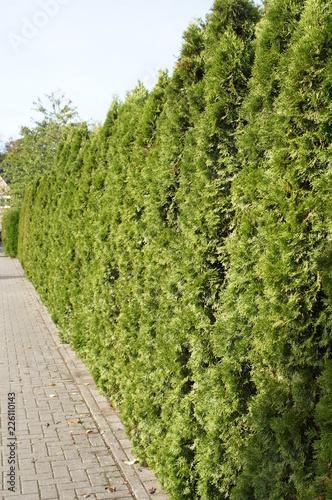 Hecke Thuja Brabant Lebensbaum Thuja Thuja Occidentalis Lebensbaum