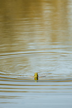 Painted Turtle Swimming In Lake