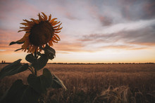 Close-up Of Sunflower Growing On Field Against Sky During Sunset