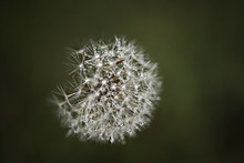Overhead View Of Wet Dandelion...