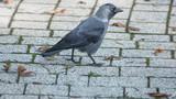 Fototapeta Zwierzęta - Gawron na kostce brukowej