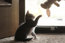 Side View Of Kitten Playing With Stuffed Toy While Sitting On Carpet At Home