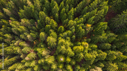A fresh green pine forest shot in the spring with a dron from the air Canvas Print