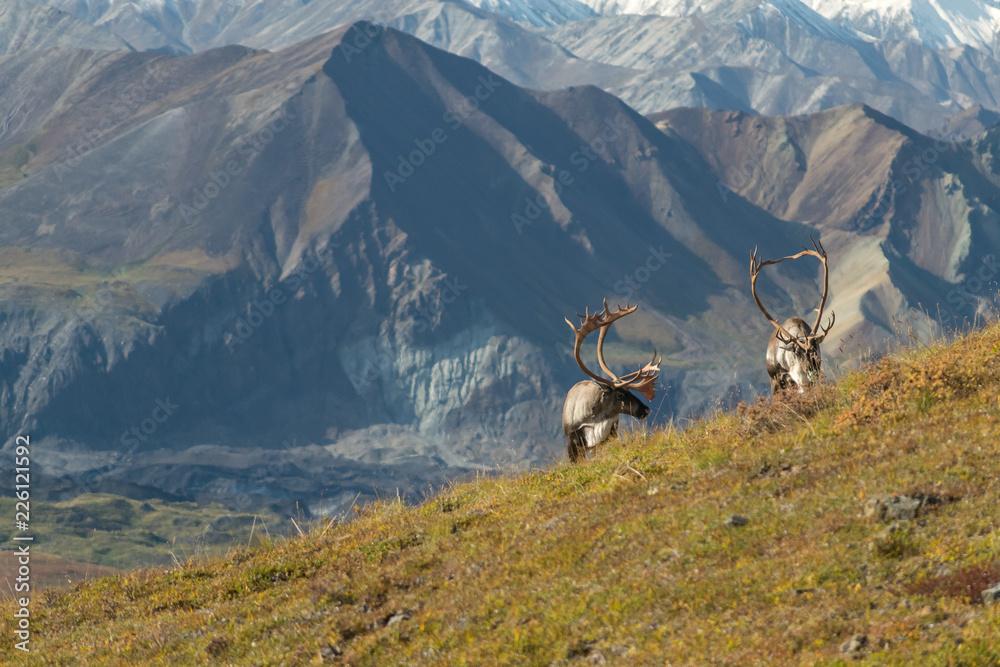 Fototapeta Majestic caribou bull in front of the mount Denali, ( mount Mckinley), Alaskal
