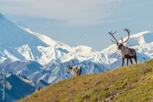 Majestic caribou bull in front of the mount Denali, ( mount Mckinley), Alaskal Canvas Print