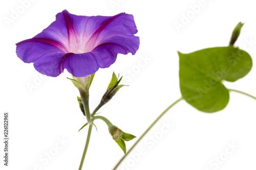 Fotografie, Tablou  Ipomoea flower, Japanese morning glory, isolated on white background
