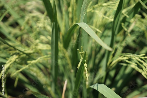 Rice is the food of the Ezekiel. фототапет