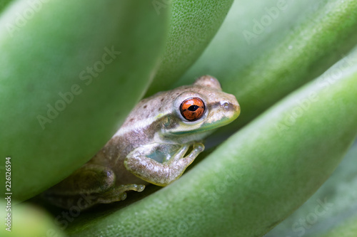 Tuinposter Kikker Little tree frog on a succulent leaf