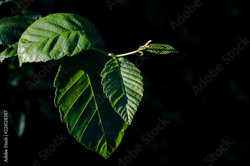 Staande foto Kameleon Green leaves with angled light over an isolated black background