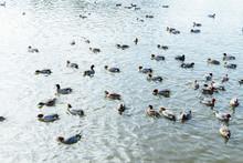 Flock Of Ducks Swimming In Lake