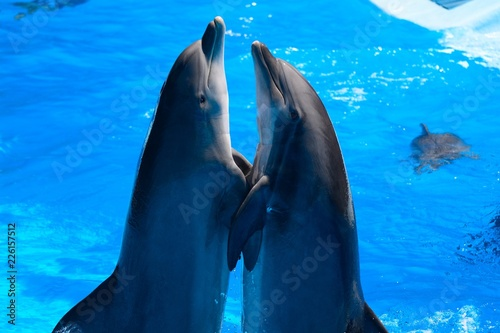 Fotografia, Obraz Two dolphins performing in a dolphin show