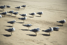 Seagulls On The Sand