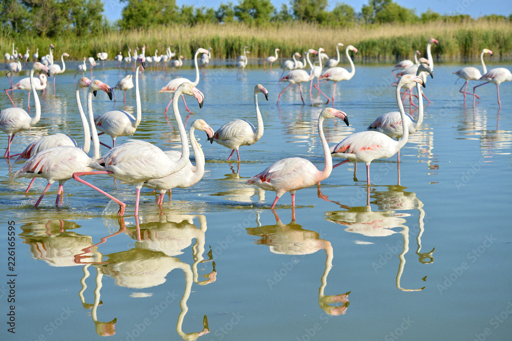 Group of flamingos (Phoenicopterus ruber) walking in water with big reflection, in the Camargue is a natural region located south of Arles, France