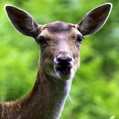 Fotobehang Hert Wild young female red deer in Untied Kingdom