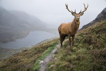 Obraz na Szkle Optyczne powiększenie Dramatic landscape image of red deer stag aboe lake in mountainous landscape in Autumn