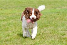 English Springer Spaniel Dog Running In Park