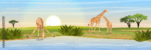 Canvas Print Family of giraffes at the watering place