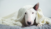 A Cute White English Bull Terr...
