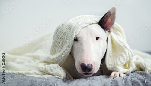 A cute white English bull terrier is sleeping on a bed under a white knitted bla Fototapet