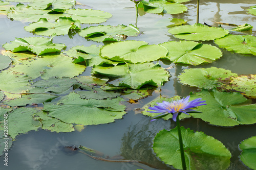 Poster Natuur Purple and Pink lotus flower in nature it is beautiful.