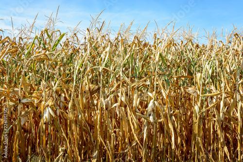 Obraz na plátne Drought hits corn crop