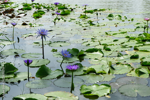 Fototapety, obrazy: Purple and Pink lotus flower in nature it is beautiful.