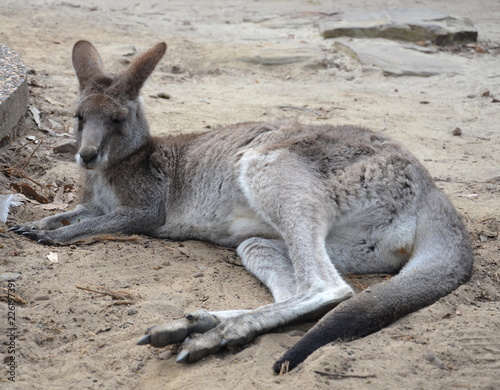 Spoed Foto op Canvas Kangoeroe Closeup of Eastern Grey Kangaroo (Macropus giganteus) in NSW Australia