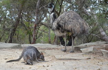 Rock-wallabies Eating Grass. E...