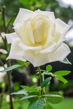 White Open Rose Blooming With ...