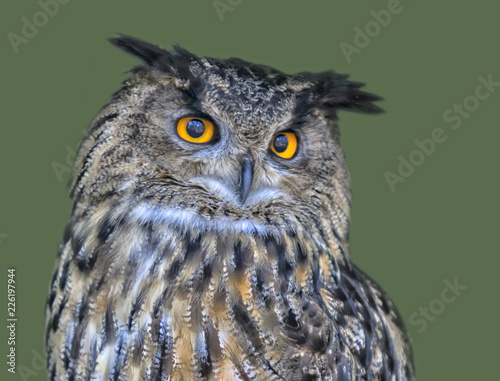 portrait of an eagle owl