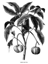 Rubber Plant Botanical Hand Draw Vintage Engraving  Clip Art Isolated On White Background
