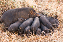 Little Wild Piglets Suckling Their Mother On Nature