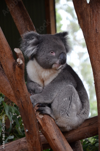 Staande foto Koala Closeup of a koala sitting on an eucalyptus tree branch - Australian wildlife.