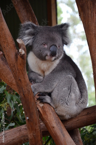 Poster Koala Closeup of a koala sitting on an eucalyptus tree branch - Australian wildlife.