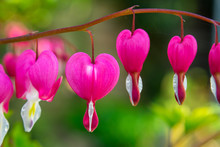 Pink Bleeding Heart Plant, Dicentra Spectabilis