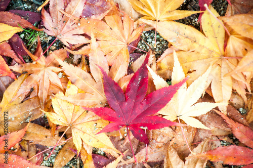Photo Photo closeup of autumn colourful of fallen dry maple leaves on ground deciduous