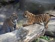 canvas print picture - Resting jung Sumatran Tiger, Panthera tigris sumatrae