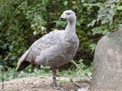 Cape Barren Goose, Cereopsis novaehollandiae, pasture
