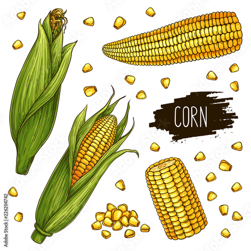 Hand drawn corn set. Isolated ripe corn cobs and grain with label. Vegetarian food design for shop, market, book, menu, poster, banner. Vector sketch illustration Fototapete