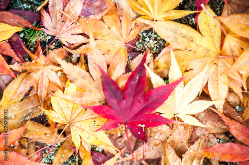 Photo closeup of autumn colourful of fallen dry maple leaves on ground deciduous Canvas Print