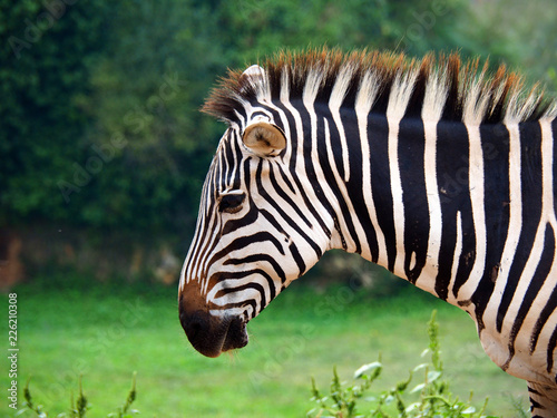 In de dag Zebra Portrait of one zebra
