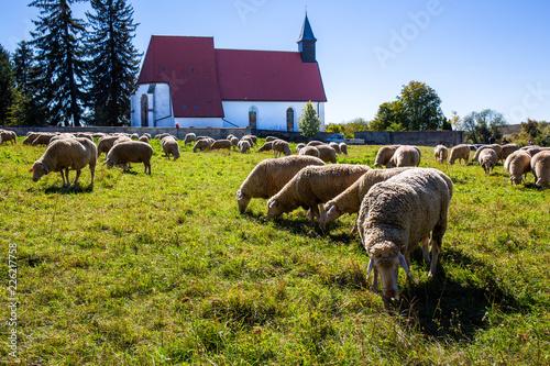 Schafherde vor der Kirche von Gruorn im Biosphärenreservat Münsingen auf der Schwäbischen Alb