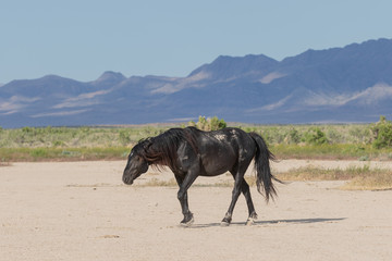 Fototapeta Wild Horse in the Onaqui Mountains Utah