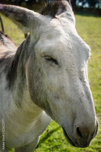 Deurstickers Ezel âne ou mule
