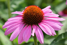 Close Up Of A Pink Echinacea F...